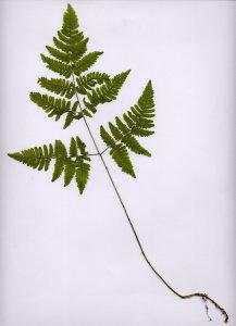 02A Dryopteris carthusiana