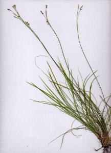 09Bb Carex mucronata