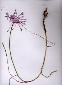 10A Allium carinatum