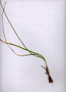 10Bb Allium ochroleucum