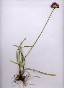 10C Allium senescens ssp. montanum