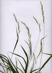 11Ba Brachipodium sylvaticum