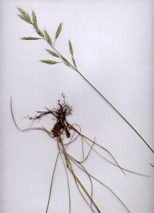 11C Bromopsis erecta