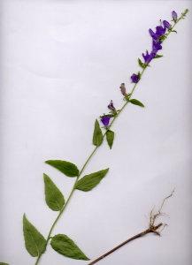 18A Campanula bononiensis