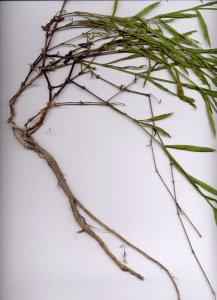 19Cb Silene vulgaris