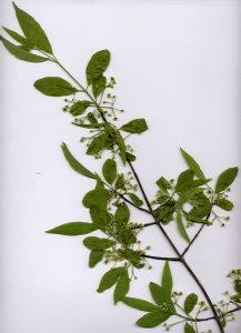 20A Euonymus europaea