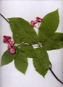 20B Euonymus latifolia