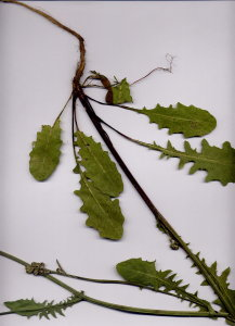 21Bb Crepis biennis
