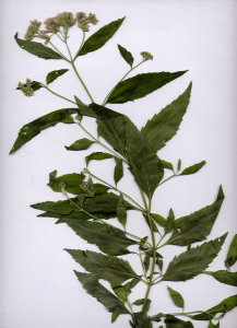 21Da Eupatorium cannabinum
