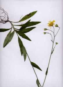 21G Hieracium pospichalii