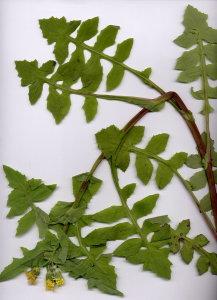 21Na Sonchus oleraceus
