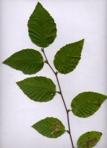 23B Ostrya carpinifolia