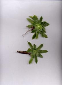 24D Sempervivum tectorum