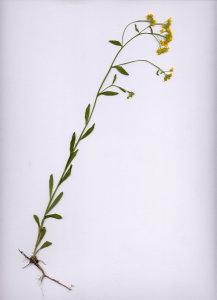 25Ca Aurinia petraea