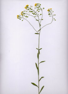 25Cb Aurinia petraea