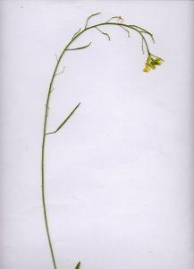 25Fa Diplotaxis tenuifolia