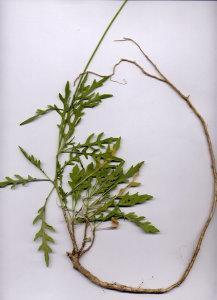 25Fb Diplotaxis tenuifolia
