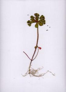 26A Euphorbia helioscopia