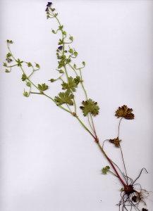 28A Geranium molle