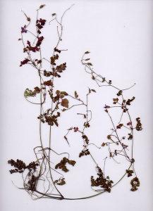 28B Geranium robertianum