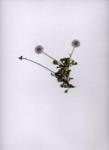 29A Globularia cordifolia