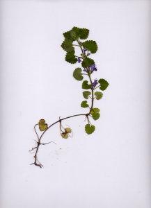 31C Glechoma hederacea