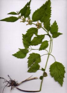 31D Lamium flavidum