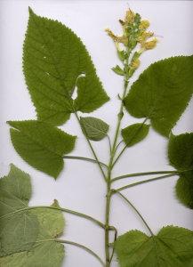 31Fa Salvia glutinosa