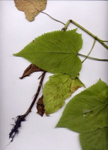 31Fb Salvia glutinosa