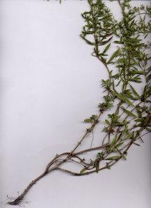 31Ga Satureja montana ssp. variegata