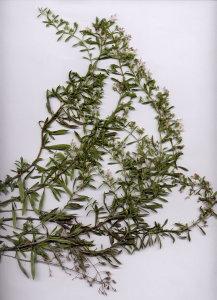 31Gb Satureja montana ssp. variegata