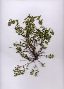 31I Thymus pulegioides