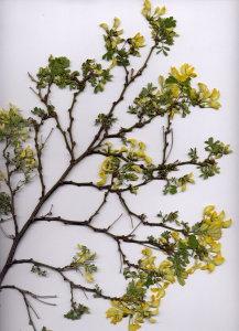 32C Hippocrepis emerus ssp. emeroides