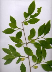 34A Forsythia viridissima