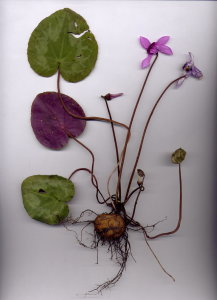 37A Cyclamen purpurascens