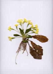 37B Primula vulgaris