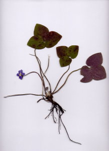 38C Hepatica nobilis