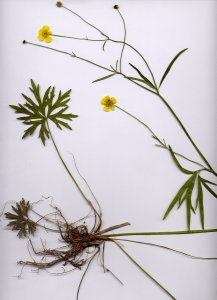 38D Ranunculus acris