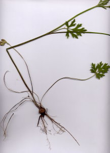 38Eb Ranunculus bulbosus