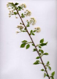 40D Prunus mahaleb