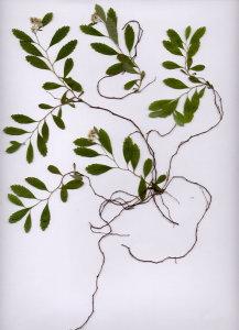 40G Spiraea decumbens ssp. decumbens