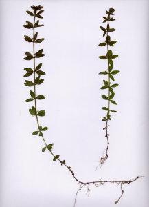 41A Cruciata glabra