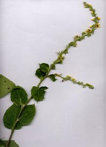 43Ca Verbascum blattaria