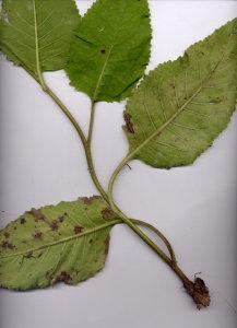 43Cb Verbascum blattaria