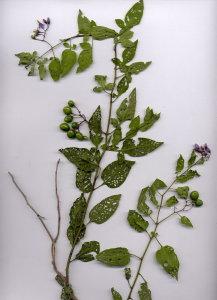 44Aa Solanum dulcamara