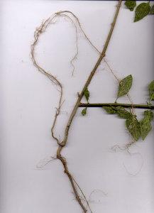 44Ab Solanum dulcamara
