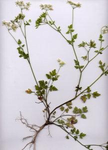 45Aa Chaerophyllum temulum