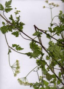 45Ab Chaerophyllum temulum