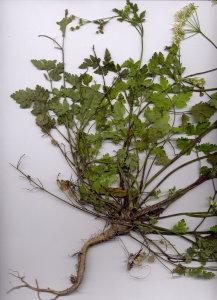45Ac Chaerophyllum temulum