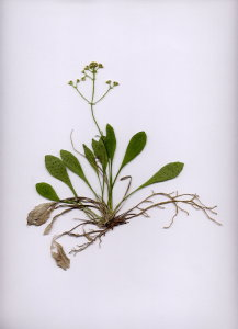 47A Valeriana saxatilis